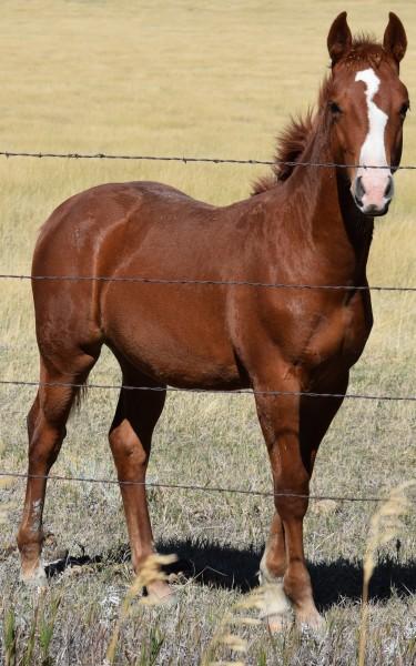 osr-boonsmal-destiny-foal